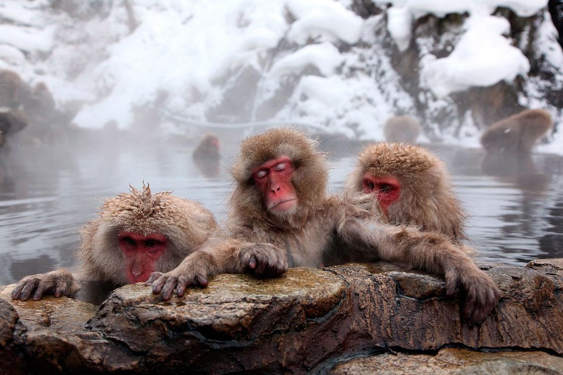 Япония обезьяны горячий источник
